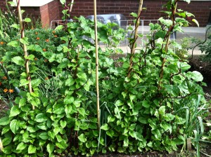 Malabar spinach, a tropic vine that doubles as a hot weather green, travels up a trellis fence