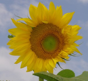 sunflowercrop